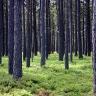 Spygliuočių miškas Lietuvoje