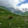 alpinese-pievose