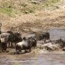 Antilopės gnu Masai Maros nacionaliniame parke