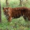 Usūrinis tigras