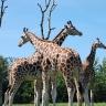 Žirafos Etošos nacionaliniame parke Namibijoje
