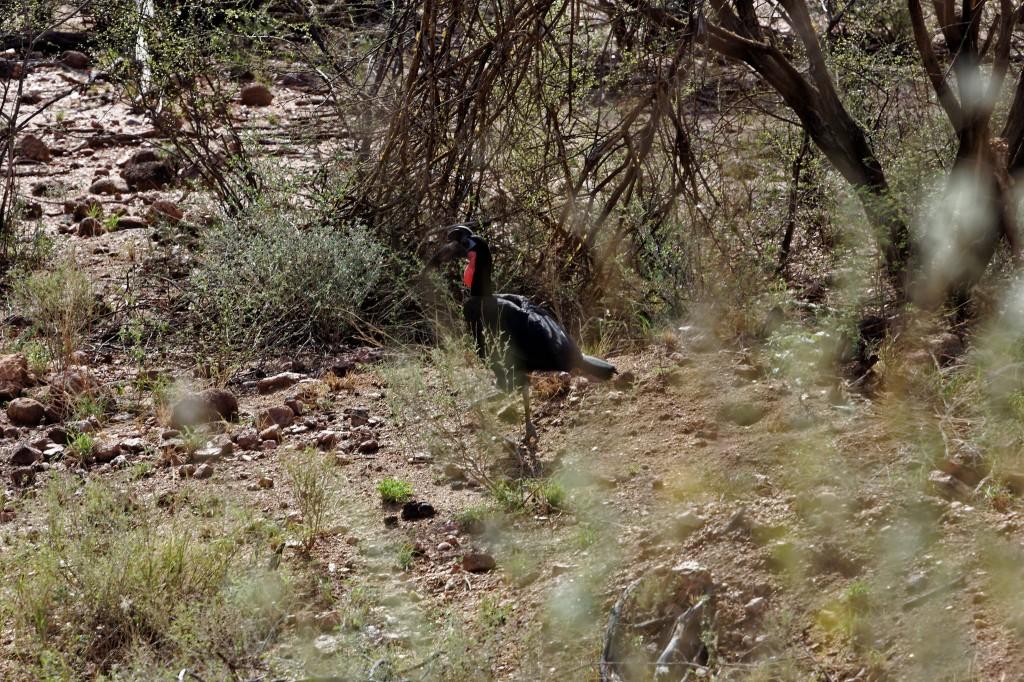 Šiaurinis ragavarnis (Bucorvus abyssinicus)