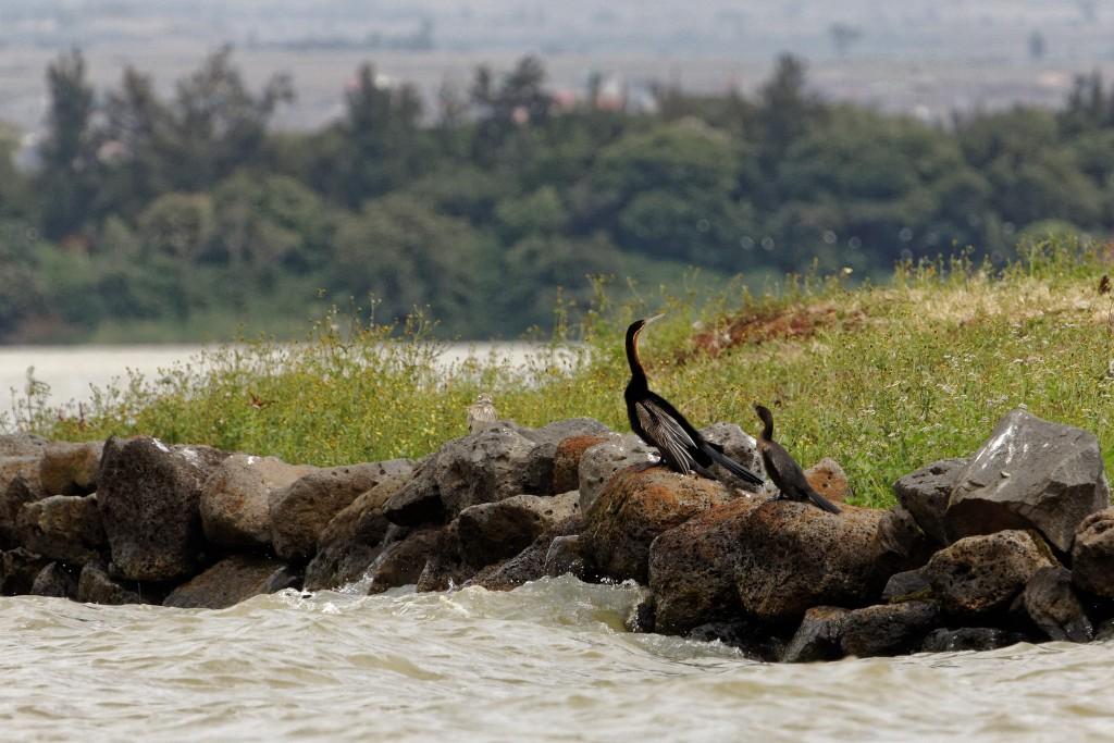 Afrikinis žalčiakaklis (Anhinga rufa)