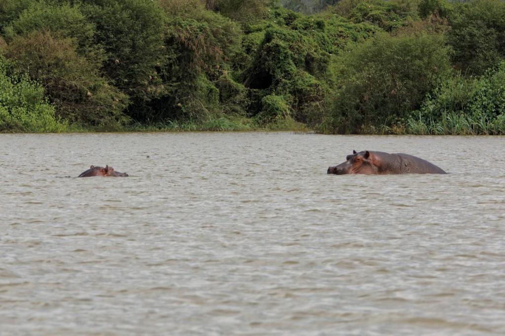 Hipopotamas (Hippopotamus amphibius)