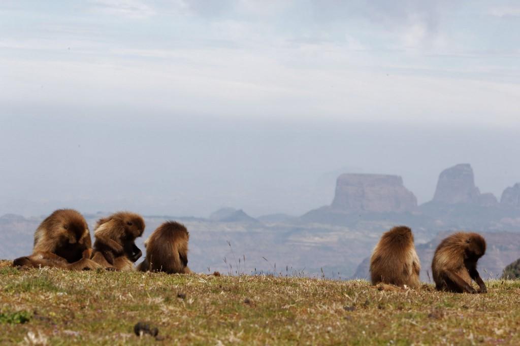 Gelados Simeno kalnų nacionaliniame parke