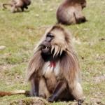 Gelada Simeno kalnu Nacionaliniame parke