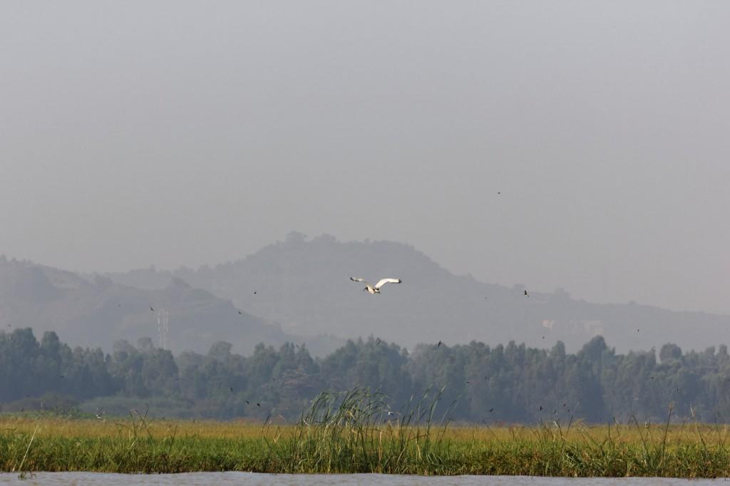 Šventasis ibis (Threskiornis aethiopicus)
