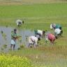 ryziu-sodinimas