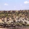 gnu-antilopes