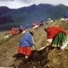 Indėnai renka bulves Anduose