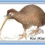 Paukštis_kivis_Naujoji_Zelandija